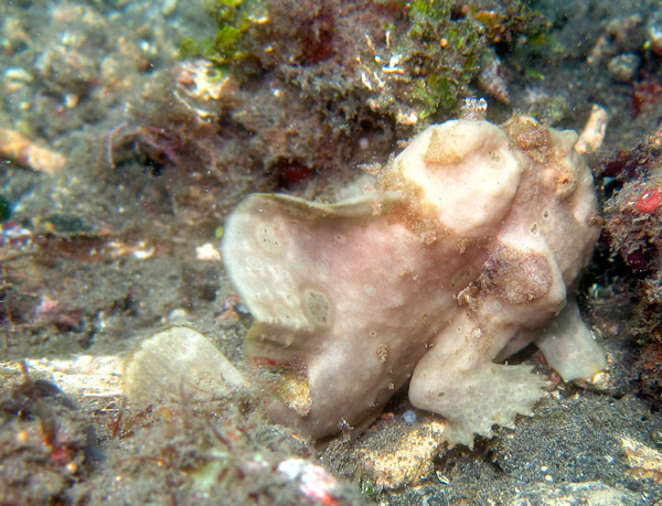 frogfish5.jpg