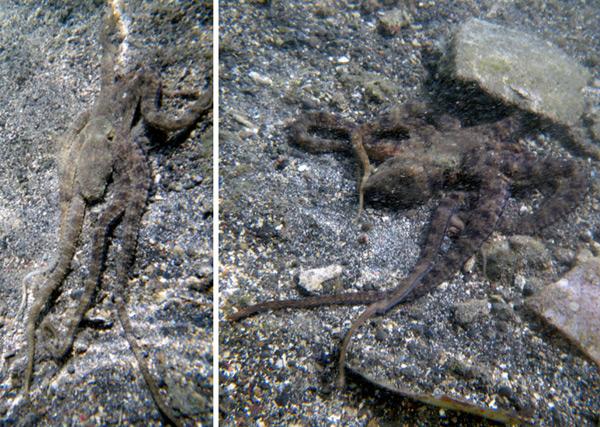 octopus2a.jpg