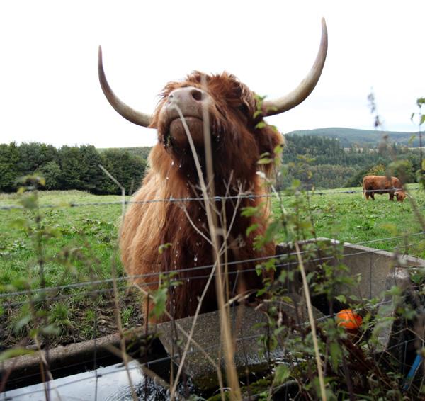 cowH1.jpg