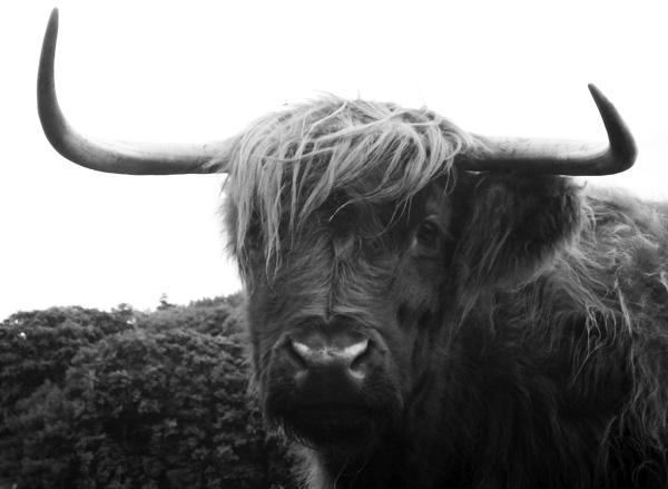 cowH14.jpg