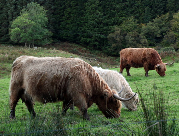 highlandcows1.jpg