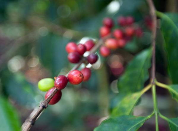 coffeebean1.jpg