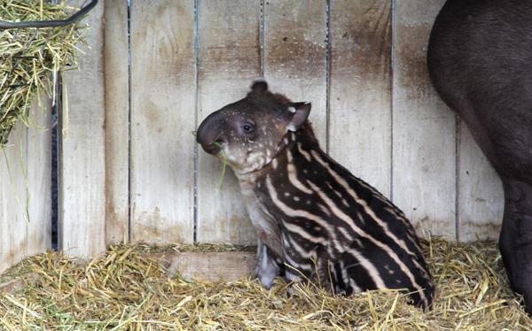 tapirmunch1.jpg