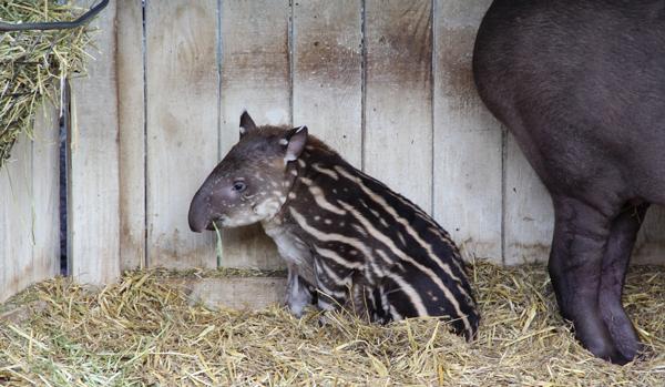 tapirmunch2.jpg