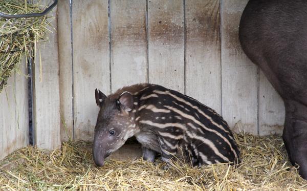tapirsit.jpg