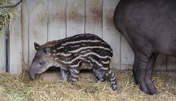 tapirstand2.jpg