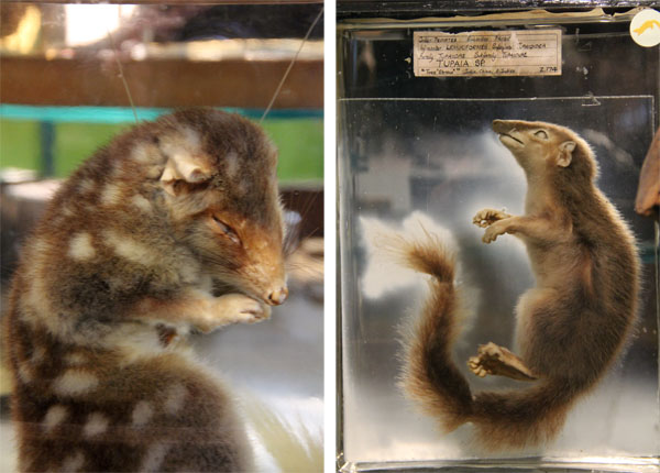 quolltreeshrew.jpg