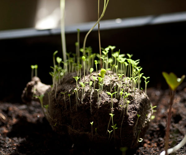 seedomsprouting.jpg