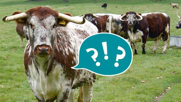 cowquestions.jpg