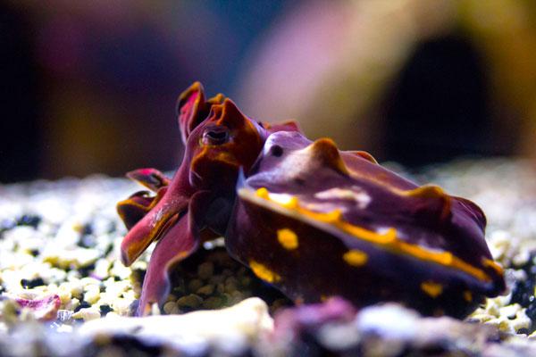 fcuttlefish2.jpg