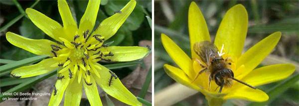 oilbeetle-larvae.jpg