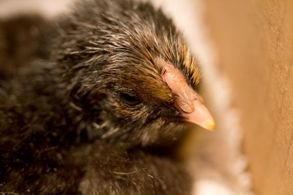 chick-9816.jpg