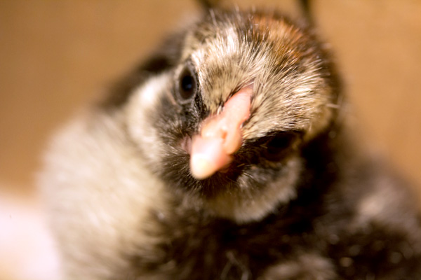 chick-9819.jpg