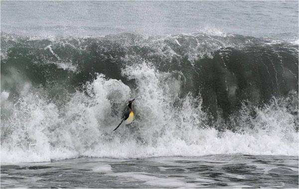 penguinsurfing.jpg