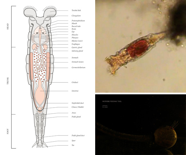 Rotifer-Anatomy-composite.jpg