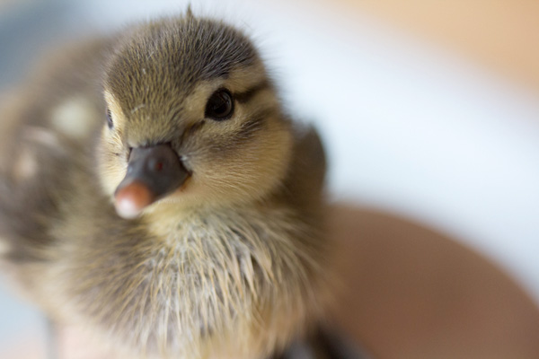 duckling-swim-03-2395.jpg