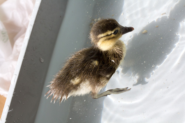 duckling-swim-05-2381.jpg