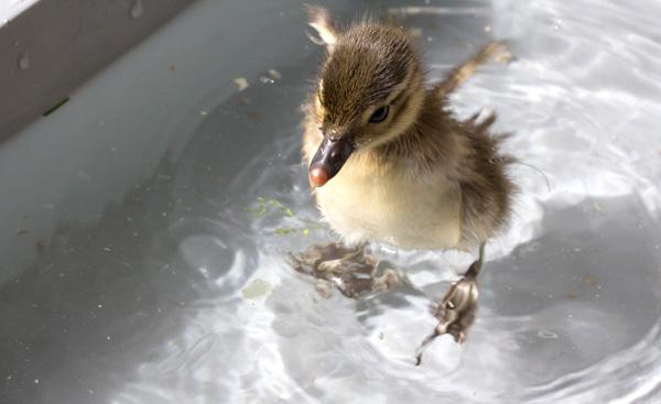 duckling-swim-06-2373.jpg