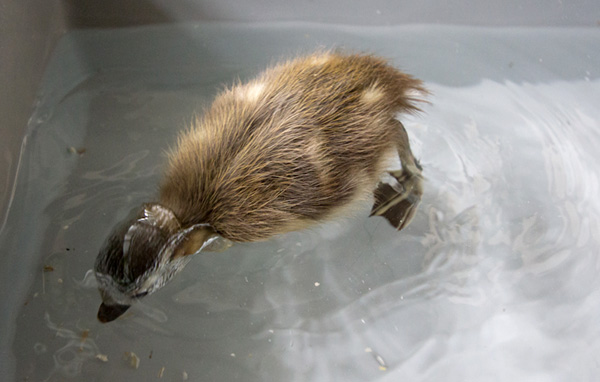 duckling-swim-08-2451.jpg