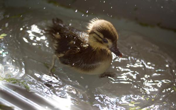 duckling-swim-18-2728.jpg