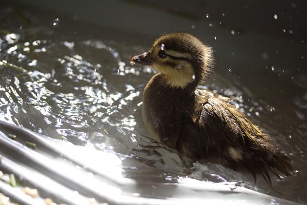 duckling-swim-23-2739.jpg