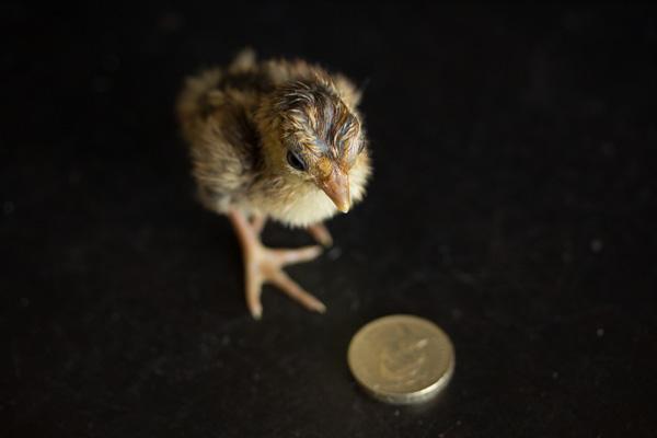 pheasantchicks-3613.jpg