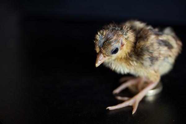 pheasantchicks-3618.jpg