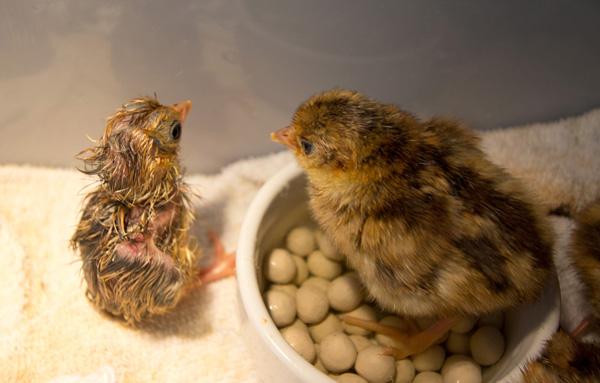 pheasantchicks-3651.jpg