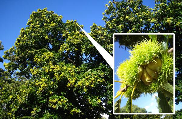 chestnuts-01.jpg