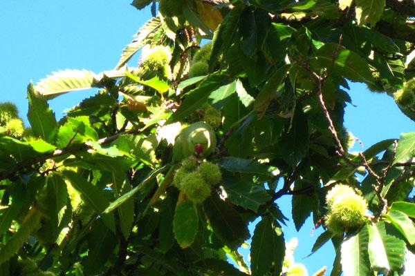 chestnuts-6173.jpg