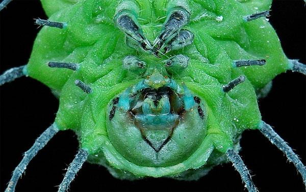sinobug-giantsilkmothcat.jpg