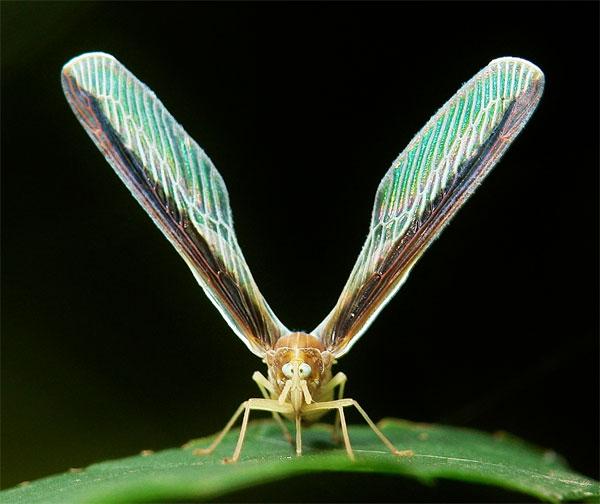 sinobug-lwderbigplanthopper.jpg