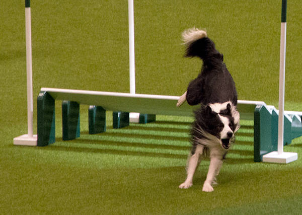 crufts-agility-2.jpg