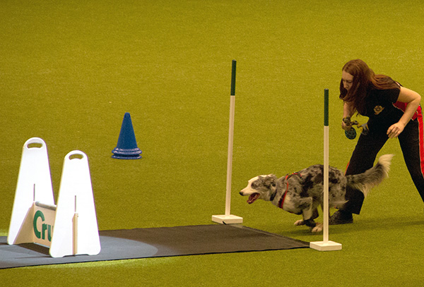 crufts-flyball.jpg