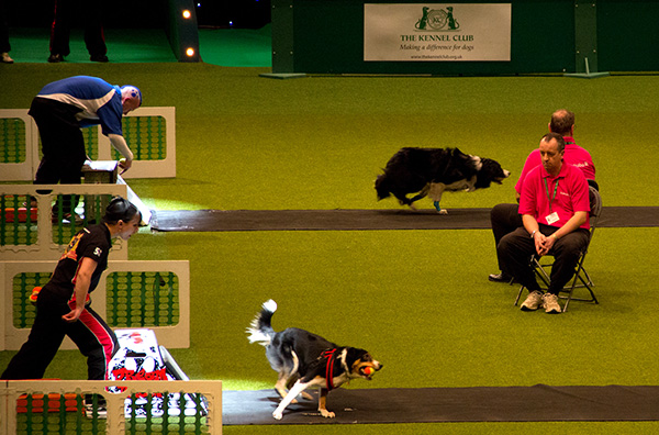 crufts-flyball2.jpg