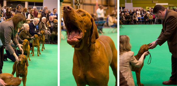 crufts-viszla-ring.jpg