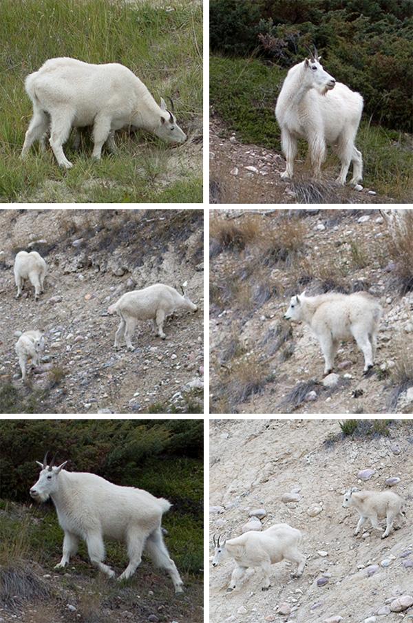 goats3.jpg