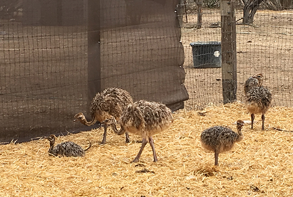 ostrichland11.jpg