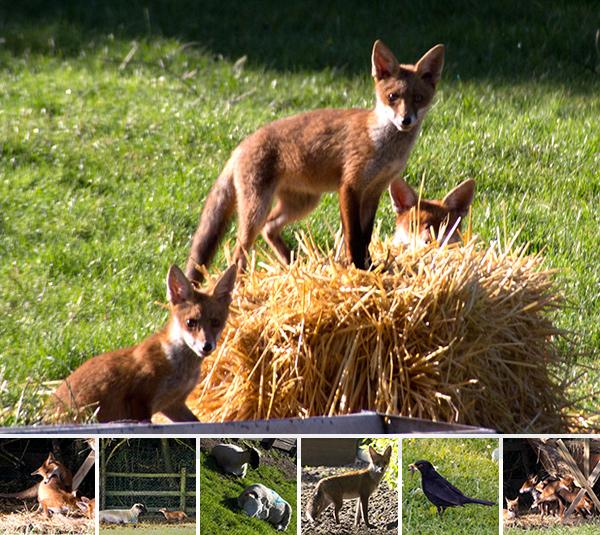 Mudchute Park & Farm: Red Foxes!