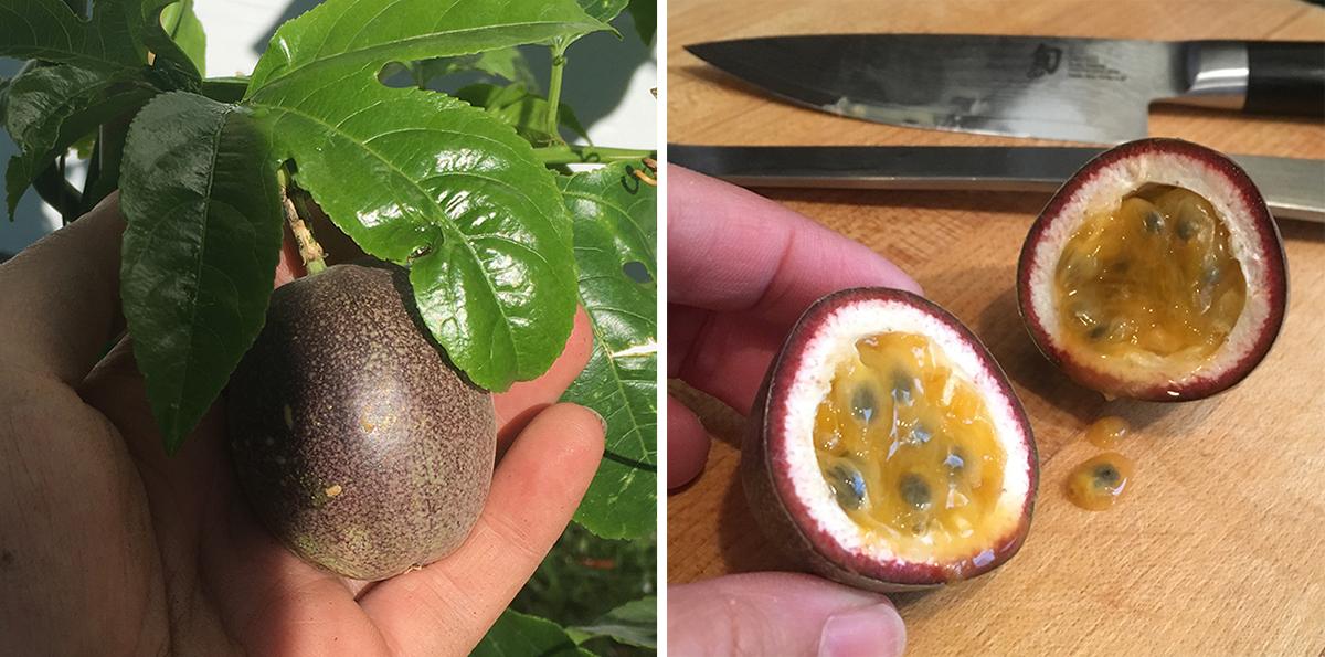 passiflora16.jpg