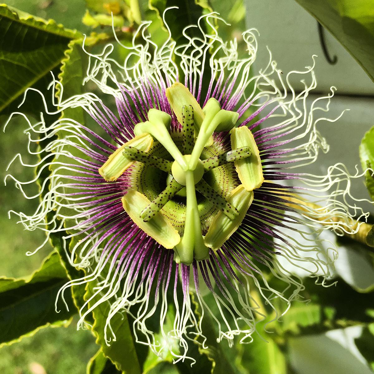 passiflora23.jpg