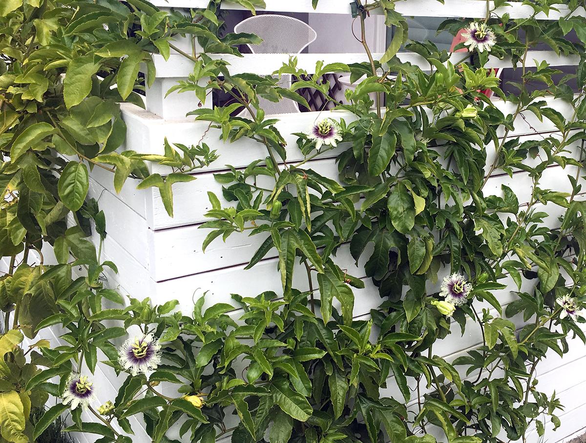 passiflora24.jpg