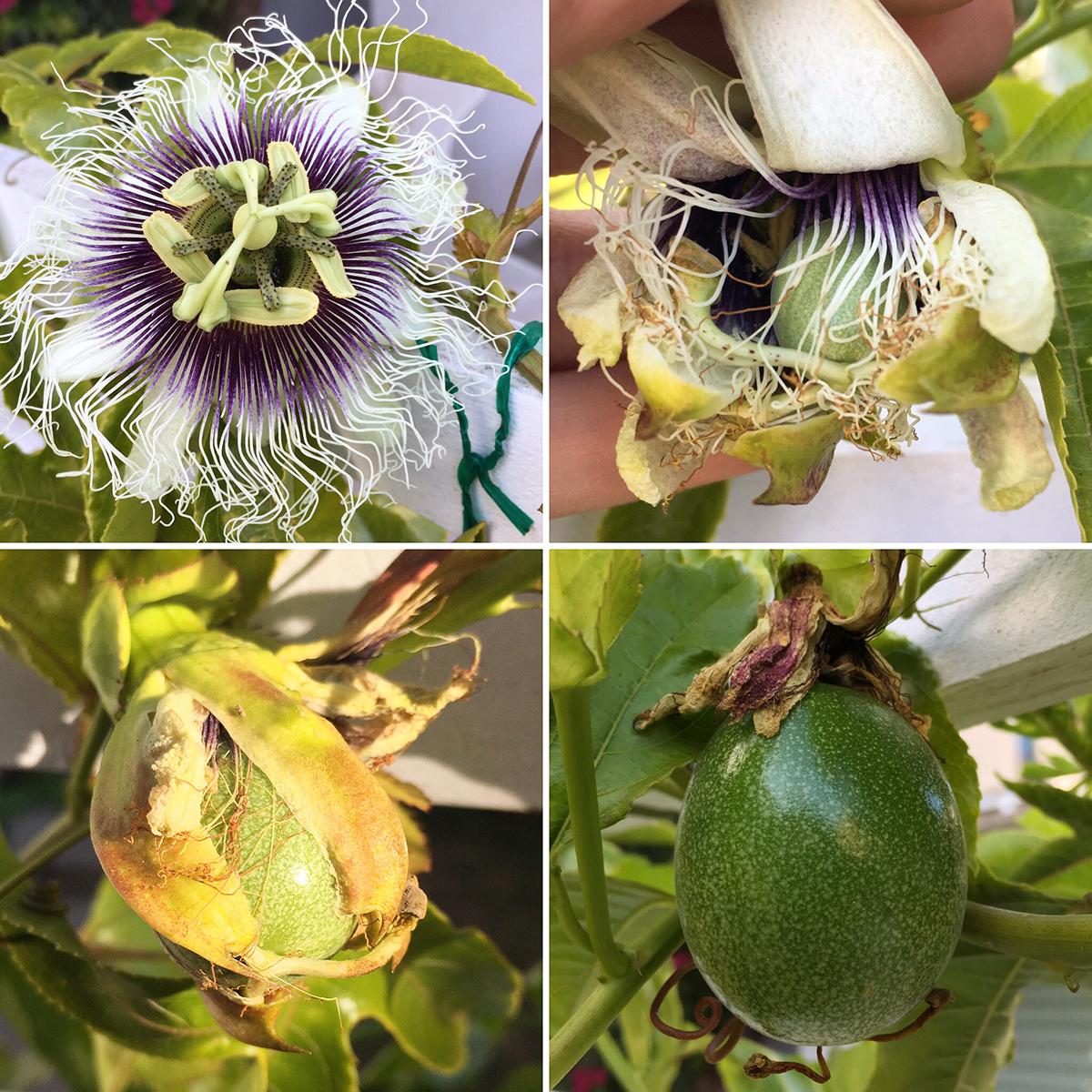 passiflora27.jpg