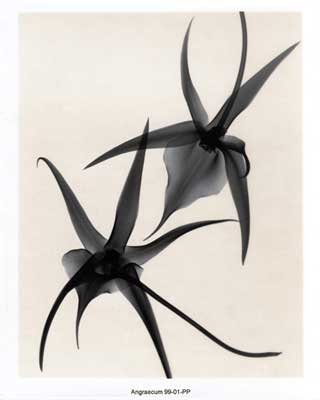 Angraecum reduced_web.jpg