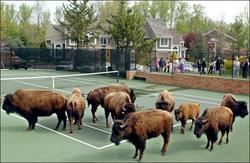 buffalo.184.1650.jpg
