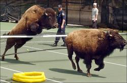 buffalo.184.2.650.jpg