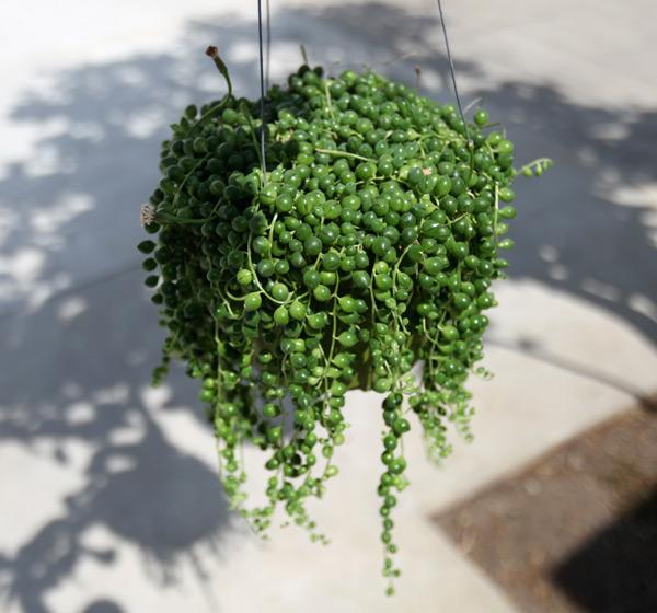 Succulent Plant Vines Plant3 Jpg